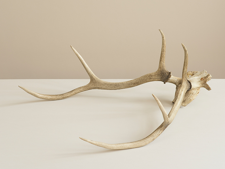 Photograph of deer antlers on a white surface with a cream background