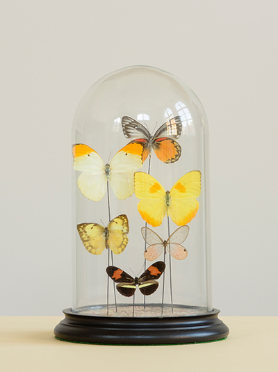 Photograph of a glass dome jar containing a variety of colourful butterflies with a black base on a cream table with grey background